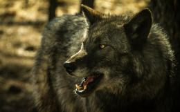 Grey wolf hd Wallpapers Pictures Photos Images 1643