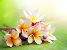 Download Hawaiian Flower Wallpaper pictures in high definition or 1793