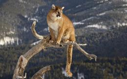 Mountain lion puma cougar panther catamount 1035