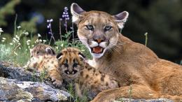 Mountain LionCougar HD Wallpapers 843