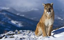 mountain lion on icy hills hd wallpaper downlaod mountain lion picture 1583
