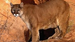 Mountain LionCougar HD Wallpapers 148