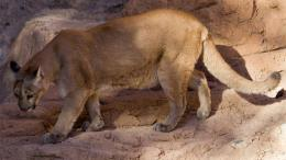 Mountain LionCougar HD Wallpapers 1553