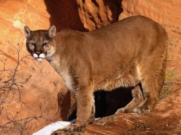 Mountain Lion HD Wallpapers 447