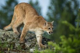 Download Puma Cougar Mountain Lion Wild Cat Cool wallpaper 1664