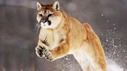 Download mountain lion wallpaper 5Fullsize Wallpaper 251