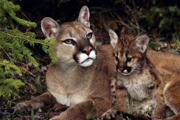 mountain lions wallpaper tags wild cats mother kitten mountain lions 1858