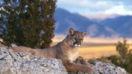 Mountain Lion HD Wallpapers 1214