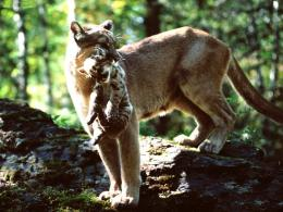 Mountain Lion HD Wallpapers 1090