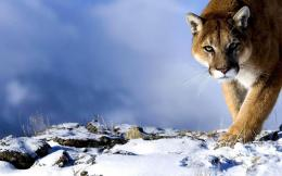 mountain lion widescreen hd wallpaper download mountain lion picture 367