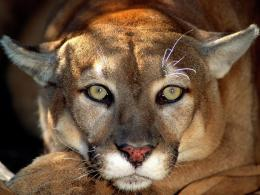 Female Mountain Lion – Wallpaper – 1024 x 768 Wallpaper 830