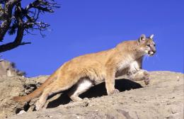 Mountain Lion HD Wallpapers 1177