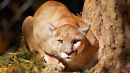 Mountain LionCougar HD Wallpapers 458