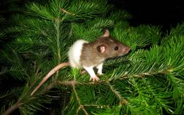 Rat on Tree Widescreen HD Wallpaper 1132