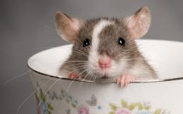 Rat HD Wallpaper | Rat Photos, Pictures | Cool Wallpapers 952