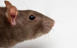Brown Rat Head Wallpaper | HD Wallpapers 963