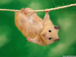 Russian Brown Rat Walking On Rope HD Wallpaper | E Entertainment 1426
