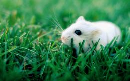 Animals Rodents White ratHD wallpaper 1225