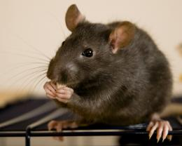 Rat HD Wallpaper | Rat Photos, Pictures | Cool Wallpapers 1230