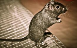 Gray rat wallpaper download, free Gray rat, Gray rat hd, Gray rat 567