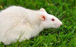 Rat HD Wallpaper | Rat Photos, Pictures | Cool Wallpapers 1518
