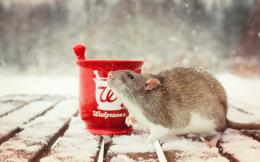 Rat HD Wallpaper | Rat Photos, Pictures | Cool Wallpapers 346