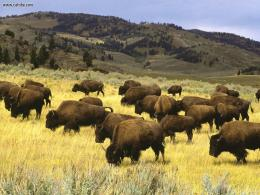 Yellowstone National Park – A Hotspot Amongst The Tourists 116