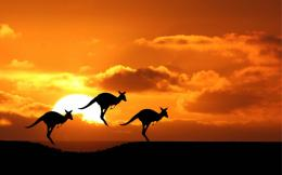 australia animals desktop wallpaper download kangaroos australia 1955