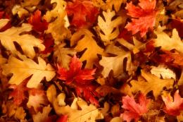 Oak Leaves 586