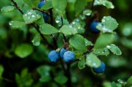 Blueberry PlantsHD Wallpaper 1027