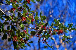 Holly red blueberries bush nature HD Wallpaper 757