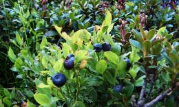 blueberries fruity bush high definition wallpaper download blueberries 1784