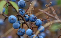 Blueberry HD Wallpapers 258