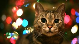 Tabby Cat In Christmas Lights Desktop Wallpaper 1175