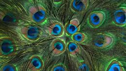 Peacock Feathers HD Wallpaper 1291