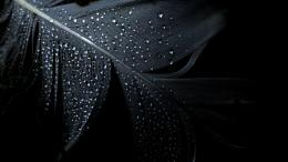 Wet Dark Feather HD Photography Wallpaper 129