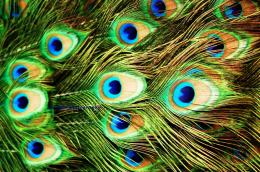 HD Peacock Feather Wallpaper 1023