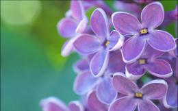 Lilac flowers hd Wallpapers Pictures Photos Images 1108