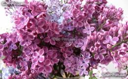 Download wallpaper Petals, lilac, Flowers free desktop wallpaper in 363