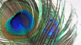 Peacock Feather 658