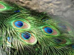 Wallpapers, Peacock Feathers Desktop Backgrounds, Peacock Feathers 207
