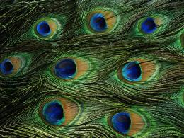 Wallpapers, Peacock Feathers Desktop Backgrounds, Peacock Feathers 182