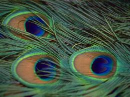 Wallpapers, Peacock Feathers Desktop Backgrounds, Peacock Feathers 1612
