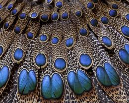Peacock Feather Desktop Wallpapers 1203