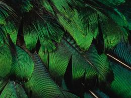 Desktop wallpapers » Creative Wallpaper » The green peacock feathers 1096