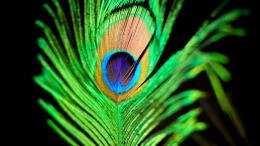 Peacock Feather Desktop Wallpapers and Backgrounds 308