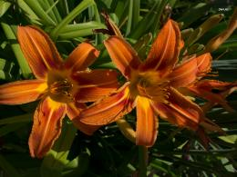 Related Pictures stargazer lilies wallpaper 1264