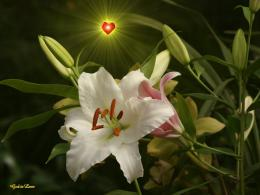 Free Wallpapers BackgroundsGod wallpapers white stargazer lily 142