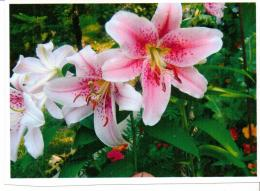 Beautiful lilies stargazer garden flowers 1147