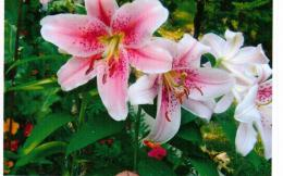 Beautiful lilies stargazer garden flowers 1208